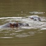 Um casal de hipopótamos se refresca por horas ali nas águas de um dos lagos do complexo (Foto: Eduardo Oliveira)