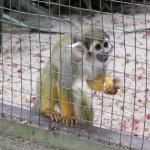 O Mico de Cheiro pode ser encontrado da Amazônia até a Costa Rica; e no Zooparque, também (Foto: Eduardo Oliveira)