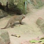 Outra espécie não tão conhecida por nós é o mangusto tigrado, típico da Savana Africana. O pequeno e feroz animal tem o hábito de se alimentar de insetos e cobras (Foto: Eduardo Oliveira)