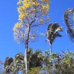 Dentre os atrativos naturais, destaca-se o ipê amarelo (na foto), além de outras plantas e árvores nativas, como mango, pupunha, buriti, açaí, pau-brasil e sete copas (Foto: (Foto: Antonio Olmedo Soler)