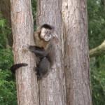 Gambás, teiús do cerrado, quatis e macacos-prego (no detalhe) coabitam a região que mantêm um clima ameno na maior parte do ano. Além dos mamíferos, os visitantes costumam ver muitas espécies de aves, répteis e insetos nas áreas preservadas (Foto: licença Wikimedia Commons)