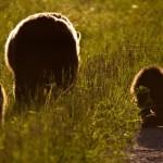 Ursos pardos e negros, alces, veados, lobos, carneiros selvagens, renas, coiotes, linces e marmotas fazem parte da fauna presente na região (Foto: Banff/Divulgação)
