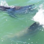No detalhes, golfinhos na Caladesi Islands (Foto: Visit St. Petersburg / Clearwater)