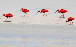 UM ESPETÁCULO DE ANIMAIS! Os guarás estão presentes em grande número na ilha, assim como as garças, socós, papagaios e marrecos. Por ali, há também uma grande variedade de peixes, como pescada amarela, tainha, anchova, corvina, gó, cação, mero, dourada e robalo. E a fauna da ilha se completa com os animais típicos de mangue, como os caranguejos e mexilhões, além de mamíferos, como preguiças, quatis, tamanduás, macacos e tartarugas (Foto: Divulgação/Algodoal.com)