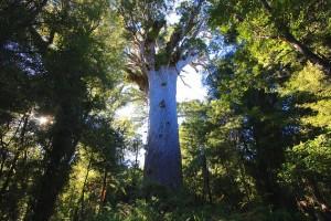 Dentro do parque, se encontram os dois maiores kauris do mundo: Tane Mahuta e Te Matua Ngahere (Foto: itravelNZ)