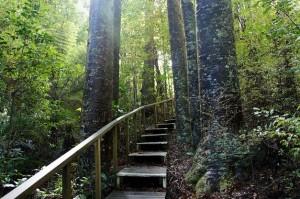 É possível fazer uma caminhada na floresta em meio às várias espécies, incluindo os kauris, com cerca de até 50 metros de altura  (Foto: itravelNZ)