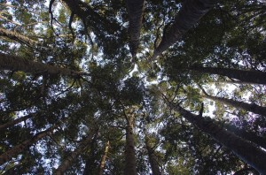 Diversas árvores enormes encantam os visitantes que passam algumas horas caminhando - ou relaxando - na floresta neozelandesa (Foto: itravelNZ)