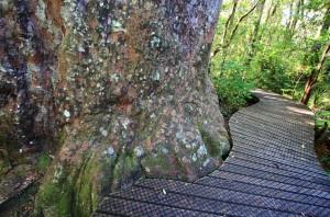 Há trilhas bem conservadas que levam às famosas árvores e às outras atrações naturais da Waipoua Forest (Foto: itravelNZ)