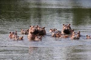 Alguns hipopótamos também são reabilitados na David Sheldrick Wildlife (Foto: David Sheldrick Wildlife/Divulgação)