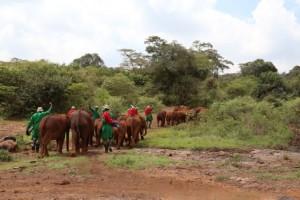 Quando os elefantes órfãos chegam a três anos de idade e já podem se alimentar por conta própria, então são transferidos do orfanato de Nairóbi para o Parque Nacional de Tsavo, onde eles se encontram e se misturam com elefantes selvagens em seu próprio ritmo, e, lentamente, acontece a transição de volta à natureza, sendo que a adaptação pode levar até 10 anos para alguns elefantes (Foto: David Sheldrick Wildlife/Divulgação)