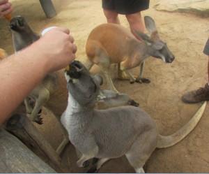 No detalhe, um visitante alimentando um dos cangurus do Busch Gardens (Foto: Eduardo Oliveira)