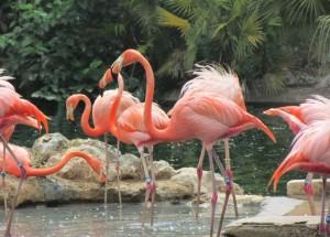 Quanta elegância! Os flamingos também podem ser vistos aos montes por lá (Foto: Eduardo Oliveira)