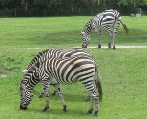 As zebras estão presentes no safári (Foto: Eduardo Oliveira)