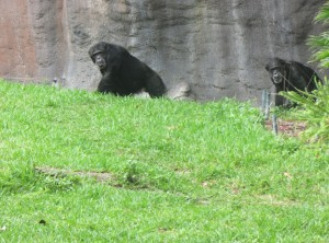 Troncudos gorilas e simpáticos chimpanzés podem ser vistos no Myombo Reserve (Foto: Eduardo Oliveira)