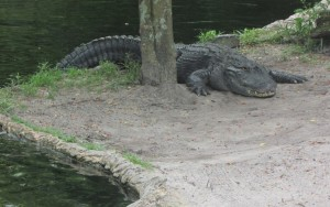 Ele é o símbolo da Flórida! E também habita as águas do Busch Gardens (Foto: Eduardo Oliveira)