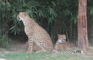 Várias espécies felinas estão espalhadas pelas enormes savanas do complexo (Foto: Eduardo Oliveira)