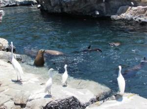 Diariamente, você pode ver num grande tanque os criadores alimentarem dezenas de leões marinho e focas; é, no mínimo, curioso (Foto: Eduardo Oliveira)